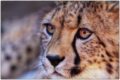 South Africa - Cheetah (Acinonyx jubatus) -  Canon EOS 7D / EF 70-200mm f/2,8 L IS USM