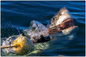South Africa - Great White Shark (Carcharodon carcharias) - Canon EOS 7D / EF 70-200 mm f/2,8 L IS USM