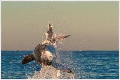 South Africa - Seal Island - Great White Shark (Carcharodon carcharias) -  Canon EOS 7D / EF 70-200 mm f/2,8 L IS USM