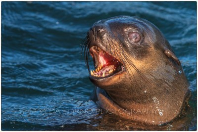 South Africa - Seal Island - Brown fur seal (Arctocephalus pusillus) -  Canon EOS 7D / EF 70-200 mm f/2,8 L IS USM