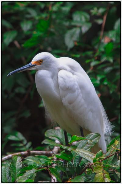 Costa Rica - Tortugero - Snowy Egret (Egreta thula) -  Canon EOS 7D / EF 70-200 mm f/2,8 L IS USM + 2.0x