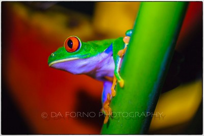 Costa Rica - Tortugero - The red-eyed tree frog (Agalychnis callidryas) -  Canon EOS 5D II / EF 100mm f/2,8 L Macro IS USM