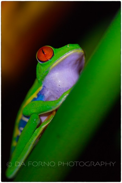 Costa Rica - Tortugero - Red-eyed tree frog (Agalychnis callidryas) -  Canon EOS 5D II / EF 100mm f/2,8 L Macro IS USM