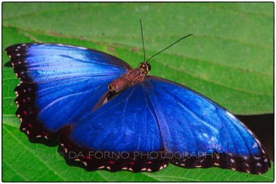 Costa Rica - Tortugero - Blu butterfly (Morpho menelaus) -  Canon EOS 7D / EF 70-200 mm f/2,8 L IS USM + 2.0x