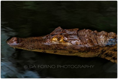 Costa Rica - The spectacled caiman (Caiman crocodilus) -  Canon EOS 7D / EF 70-200 mm f/2,8 L IS USM + 2.0x
