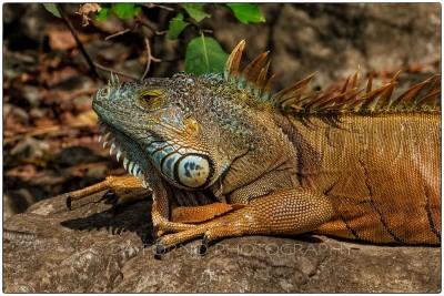 Mexico - Chiapas - Sumidero Canyon - Green Iguana (Iguana iguana) - Canon EOS 7D / EF 70-200mm f/2,8 L IS II USM + 2.0x