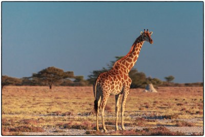 Namibia - On the Road to Etosha - Giraffe (Giraffa camelopardalis) - Canon EOS  7D / EF 400mm f/2.8 L IS II USM