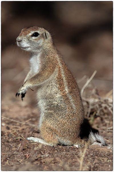 Namibia - Ground squirrel (Xerus inauris) - Canon EOS  7D / EF 400mm f/2.8 L IS II USM + 1.4x III