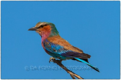 Namibia - Etosha- Lilac-breasted Roller (Coracias caudatus) - Canon EOS  7D / EF 400mm f/2.8 L IS II USM + 1.4x III