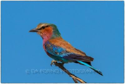 Namibia - Etosha- Lilac-breasted Roller (Coracias caudatus) - Canon EOS  7D / EF 400mm f/2.8 L IS II USM + 1.4x III