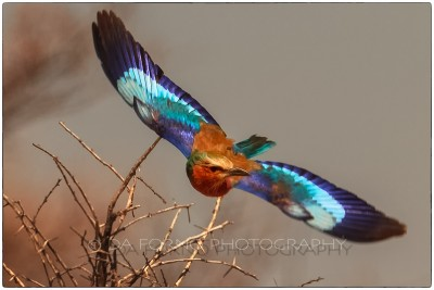 Namibia - Etosha - Lilac-breasted Roller (Coracias caudatus) - Canon EOS  7D / EF 400mm f/2.8 L IS II USM + 1.4x III
