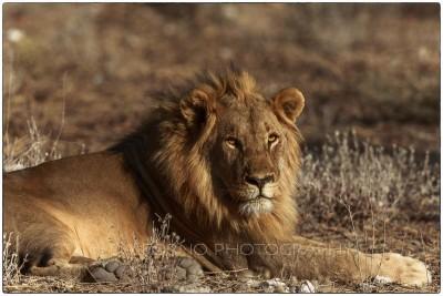 Namibia - Etosha - African Lion (Panthera leo) - Canon EOS  5D III /  EF 400mm f/2.8 L IS II USM + 2.0x III