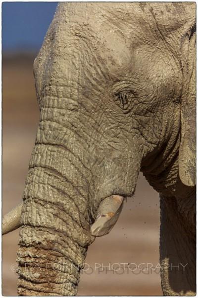 Namibia - Etosha  - African Elephant (Loxodonta africana) - Canon EOS  5D III / EF 400mm f/2.8 L IS II USM + 2.0x III