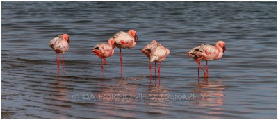 Namibia - Sandwich Harbor - Lesser Flamingo (Phoeniconaias minor)  - Canon EOS  7D / EF 70-200mm  f/2.8 L IS II USM +1.4x III