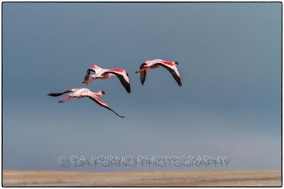 Namibia - Sandwich Harbor - Lesser Flamingo (Phoeniconaias minor) - Canon EOS  7D / EF 70-200mm  f/2.8 L IS II USM +1.4x III