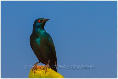 Namibia - Sharp-tailed Starling (Lamprotornis acuticaudus) - Canon EOS  7D / EF 70-200mm  f/2.8 L IS II USM