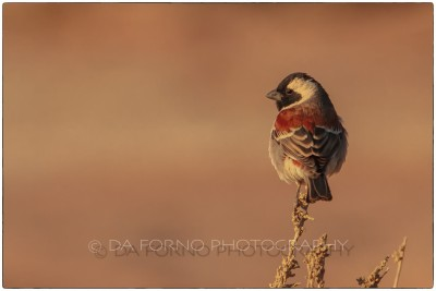 Namibia - Sossusvlei area -  Cape Sparrow (Passer melanurus) - Canon EOS  7D / EF 70-200mm  f/2.8 L IS II USM +1.4x III