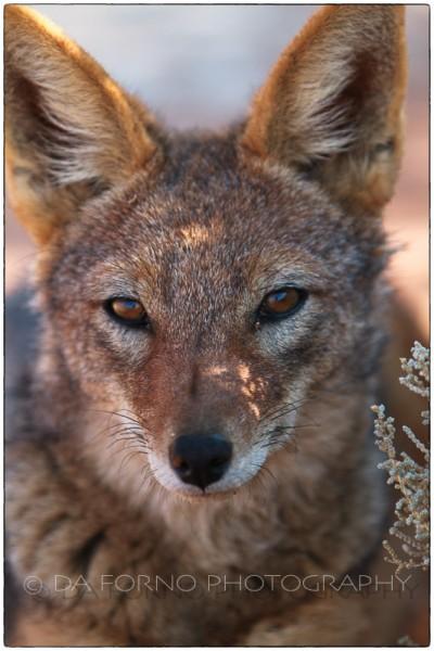 Namibia - Sossusvlei area - Blackbacked jackal (Canis mesomelas) - Canon EOS  7D / EF 70-200mm  f/2.8 L IS II USM