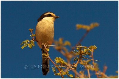 Namibia - Common fiscal (Lanius collaris) - Canon EOS  7D / EF 70-200mm  f/2.8 L IS II USM +2.0x III