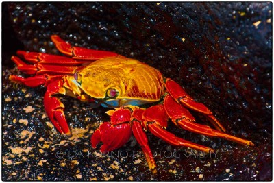 Galapagos Island - Sally Lightfoot Crab (Grapsus grapsus) - Canon EOS 5D III / EF 70-200mm  f/2,8 L IS II USM +1.4x III