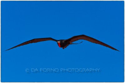 Galapagos Island - Great Frigatebird (Fregata minor) - Canon EOS 5D III / EF 70-200mm  f/2,8 L IS II USM +1.4x III