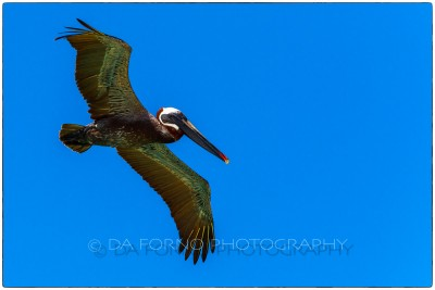 Galapagos Island - Brown Pelican ( Pelecanus occidentalis) - Canon EOS 5D III / EF 70-200mm  f/2,8 L IS II USM +1.4x III