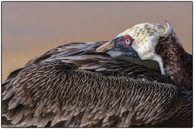 Galapagos Island - Brown Pelican (Pelecanus occidentalis) - Canon EOS 5D III / EF 70-200mm  f/2,8 L IS II USM +1.4x III
