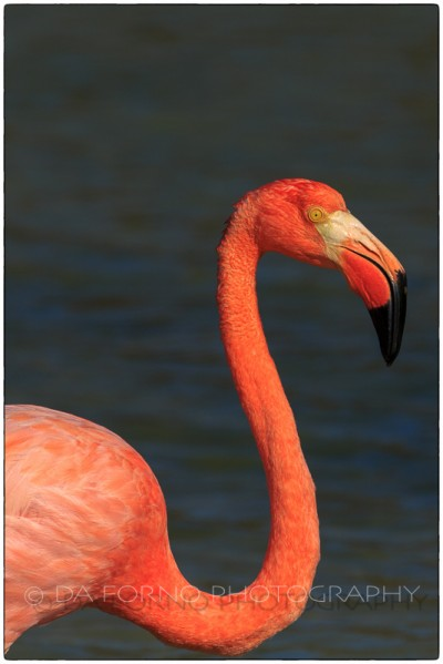 Galápagos Islands - Greater Flamingo (  Phoenicopterus ruber) - Canon EOS 5D III / EF 70-200mm  f/2,8 L IS II USM +1.4x III