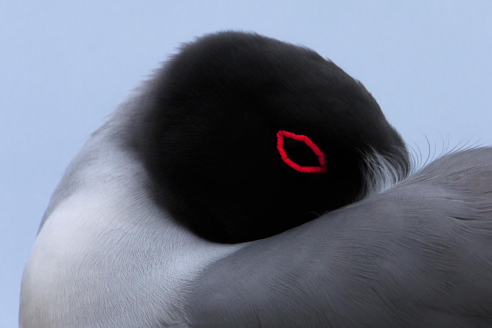 Galapagos Island - Genovesa Island - The swallow-tailed gull (Creagrus furcatus) - Canon EOS 5D III / EF 70-200mm  f/2,8 L IS II USM +2.0x III
