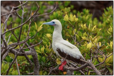 Galapagos Island - Red-footed Booby (Sula sula) - Canon EOS 5D III / EF 70-200mm  f/2,8 L IS II USM +2.0x III