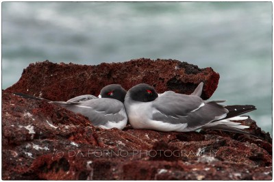 Galapagos Island - The swallow-tailed gull (Creagrus furcatus) - Canon EOS 5D III / EF 70-200mm  f/2,8 L IS II USM +2.0x III