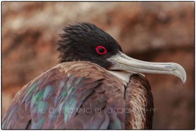 Galapagos Island - Genovesa Island -  Great Frigatebird (Fregata minor)- Canon EOS 5D III / EF 70-200mm  f/2,8 L IS II USM +2.0x III