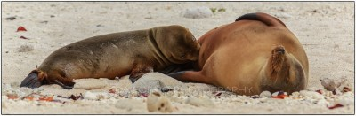 Galapagos Islands - Sea Lions (Zalophus wollebaeki) - Canon EOS 5D III / EF 70-200mm  f/2,8 L IS II USM +2.0x III