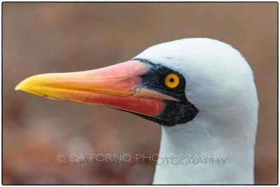 Galapagos Island - Masked Booby (Sula dactylatra) - Canon EOS 5D III / EF 70-200mm  f/2,8 L IS II USM +2.0x III