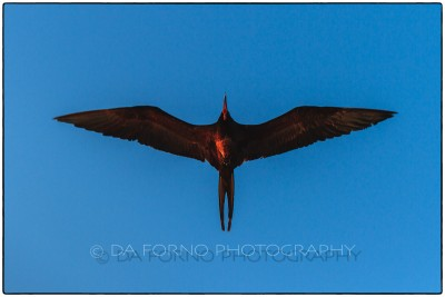 Galapagos Island - Great Frigatebird (Fregata minor) - Canon EOS 5D III / EF 70-200mm  f/2,8 L IS II USM +2.0x III