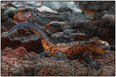 Galapagos Islands - Fernandina Island - Galapagos marine iguana - (Amblyrhynchus  cristatus) - Canon EOS 5D III / EF 70-200mm  f/2,8 L IS II USM +2.0x III