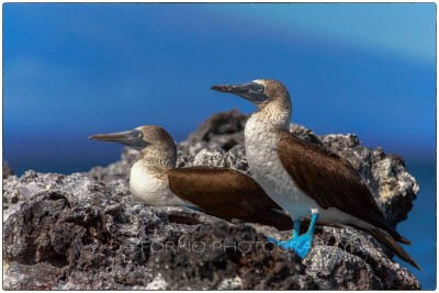 Galapagos Island - Blue-footed Booby (Sula nebouxii) - Canon EOS 5D III / EF 70-200mm  f/2,8 L IS II USM +2.0x III