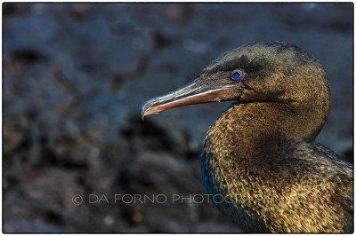 Galapagos Island - Flightless Cormorant (Phalacrocorax harrisi) - Canon EOS 5D III / EF 70-200mm  f/2,8 L IS II USM +2.0x III