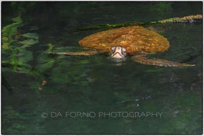 Galapagos Islands - Green sea turtle - (Chelonia mydas) - Canon EOS 5D III / EF 70-200mm  f/2,8 L IS II USM +2.0x III