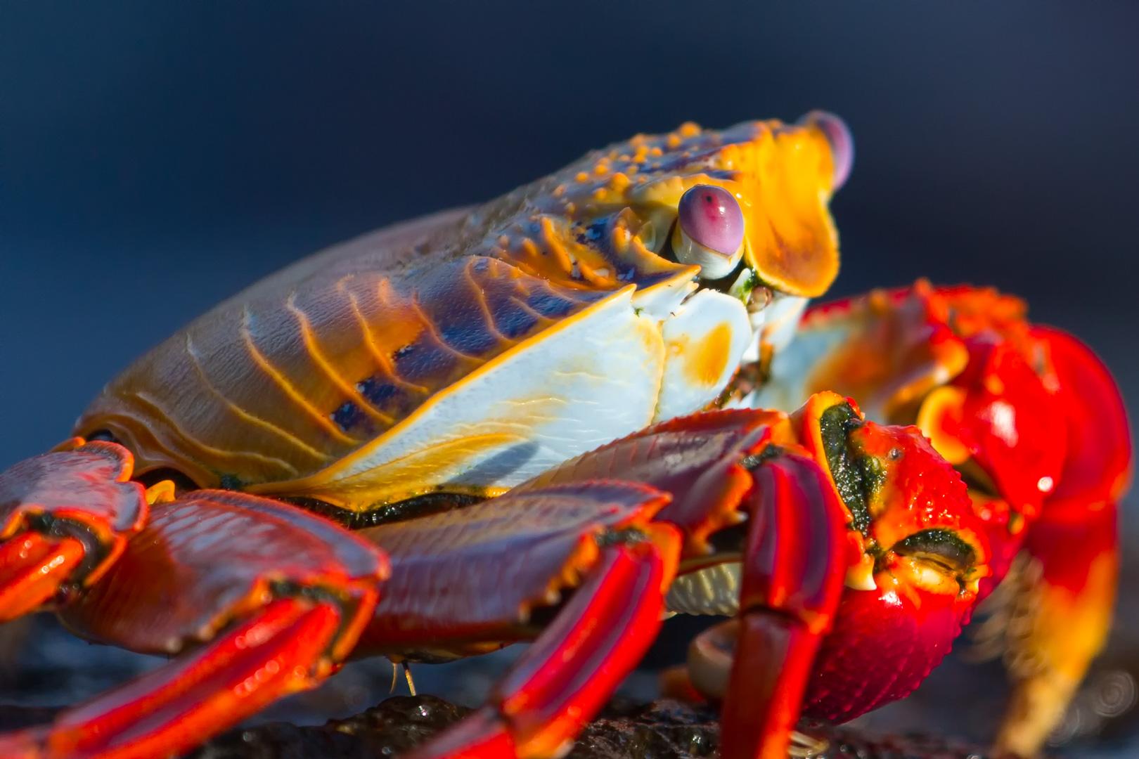 Galapagos Island - Sally Lightfoot Crab (Grapsus grapsus) - Canon EOS 5D III / EF 70-200mm  f/2,8 L IS II USM +2.0x III
