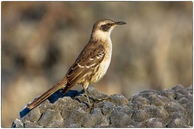 Galapagos Islands - Galapagos Mockingbird - (Mimus parvulus) - Canon EOS 5D III / EF 70-200mm  f/2,8 L IS II USM +2.0x III