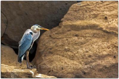 Galapagos Island - Great Blue Heron (Ardea herodias) - Canon EOS 5D III / EF 70-200mm  f/2,8 L IS II USM +2.0x III
