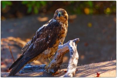 Galapagos Islands - Galapagos Hawk - (Buteo galapagoensis) - Canon EOS 5D III / EF 70-200mm  f/2,8 L IS II USM +2.0x III