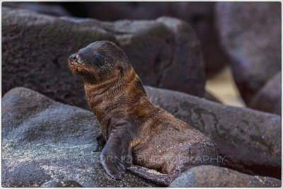 Galapagos Islands - Seymour Island - Baby Sea lion (Zalophus wollebaeki) - Canon EOS 5D III / EF 70-200mm  f/2,8 L IS II USM