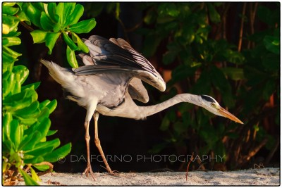 Maldives - Medhufushi Island - Grey heron (Ardea cinerea) - Canon EOS 7D / EF 70-200mm f/2,8 L IS II USM + 2.0x