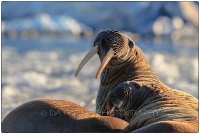 Svalbard - Walrus (Odobenus rosmarus) - Canon EOS  7D II / EF 400mm f/2.8 L IS II USM
