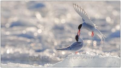 Svalbard - Arctic tern (Sterna paradisaea) - Canon EOS  7D II / EF 400mm f/2.8 L IS II USM