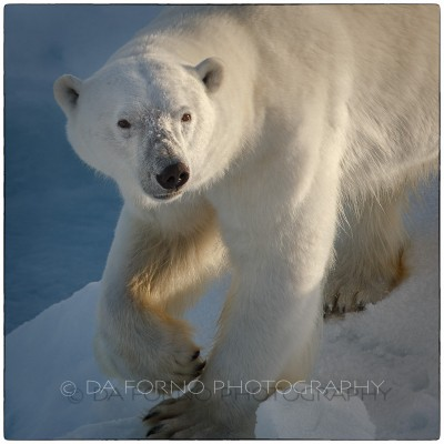 Svalbard - The polar bear (Ursus maritimus) - Canon EOS  5D III / EF 70-200mm f/2.8 L IS II USM + 1.4x III
