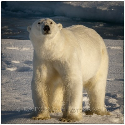 Svalbard - The polar bear (Ursus maritimus) - Canon EOS  7D II / EF 400mm f/2.8 L IS II USM