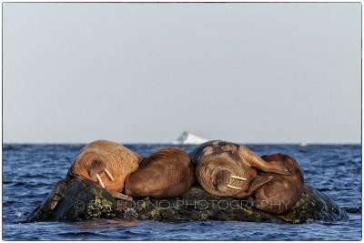 Svalbard - Storoya - Walrus (Odobenus rosmarus) - Canon EOS  5D III / EF 70-200mm f/2.8 L IS II USM + 1.4x III